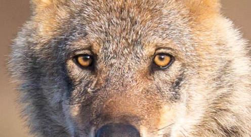 Flyer Wolfsvortrag Markus Bathen FSFBK